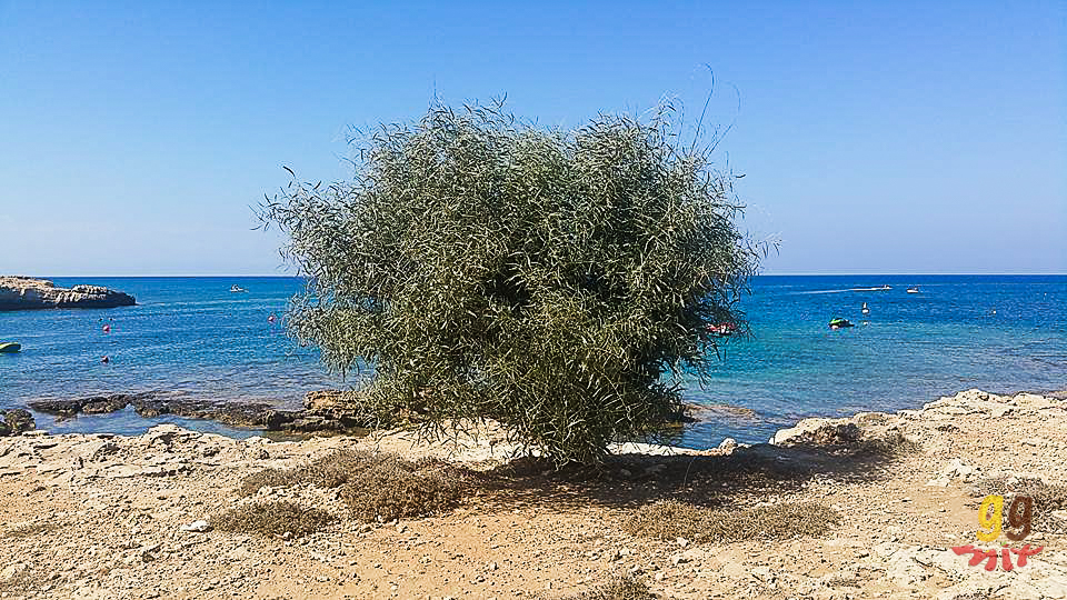 AN OLIVE TREE AT THE TOP OF THE CLIFFS OF MALAMA BEACH CYPRUS OVERLOOKING THE OCEAN
