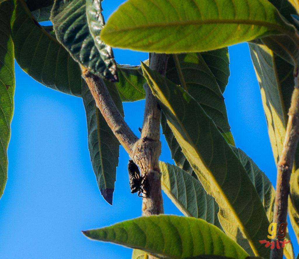 A ZIZIROS - CICADA IN A TREE