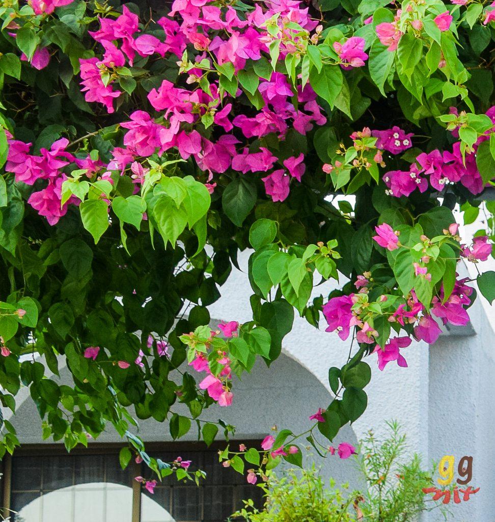 bourgainvillea in Cyprus