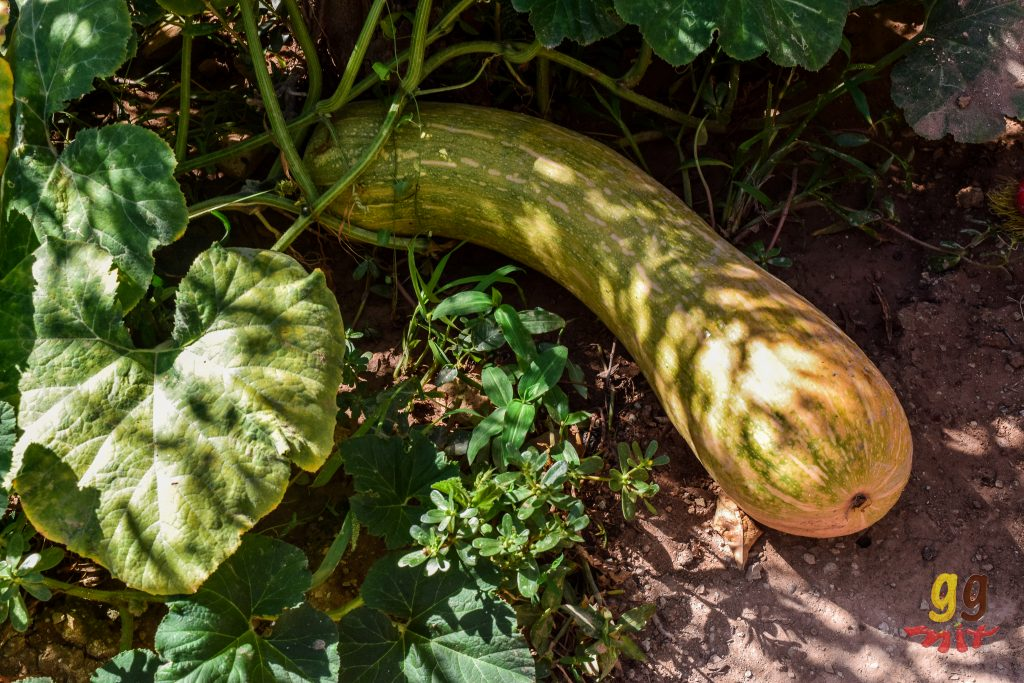 a large courgette in the garden